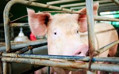 This is What Pigs Endure to Become Bacon and Processed Meat Read more: http://www.care2.com/causes/this-is-what-pigs-endure-to-become-bacon-and-processed-meat.html#ixzz3ra9wzXTMInvestigation Exposes the Horrors of High Speed Slaughter