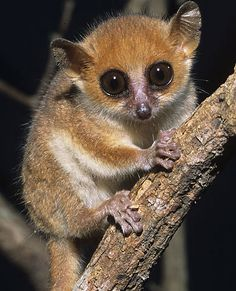 Lemurs - Bright-Eyed and Bushy-tailed | Animal Pictures and Facts | FactZoo.com  #endangered #animals #wildlife