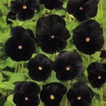 Pensé - Pansy Black Beauty Seeds