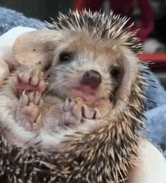 Look At This Hedgehog Yawning And Be Happy To Be Alive