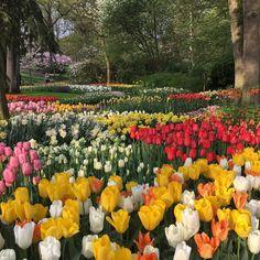 Catching early morning light at Keukenhof! Enjoy your Sunday! ☀️ #travel to the #tulipsinholland spring 2018