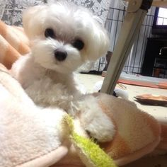 """Click visit site and Check out Best """"Maltese"""" T-shirts. This website is outstanding. Tip: You can search """"your name"""" or """"your favorite shirts"""" at search bar on the top. Tiny Puppies, Teacup Puppies, Cute Puppies, Cute Dogs, Baby Animals, Cute Animals, Maltese Dogs, I Love Dogs, Animals Beautiful"""