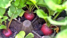 Když nemáme možnost vypěstovat si vlastní plodiny, jsme nuceni koupit čerstvé ovoce a zeleninu v obchodě. Ceny jsou však velmi vysoké a tak kolikrát odcházíme s prázdnou, a raději si dávku vitamínů rozmyslíme. Připravili jsme pro Vás proto podrobné pokyny pro spolehlivý růst ředkviček. Tyto tipy si zamilujete a bohatá, … Pesto, Blueberry, Supreme, Fruit, Plants, Gardening, Fitness, Food, Berry