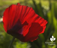 Red poppies are glorious!