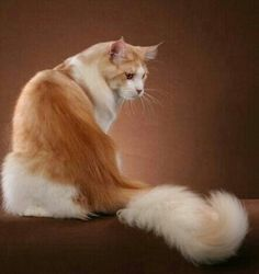Mane Coon cat http://www.mainecoonguide.com/