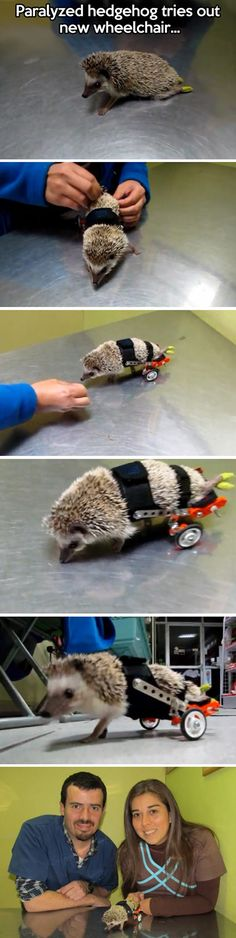 A hedgehog involved in an unfortunate accident was left with paralyzed rear legs, but fortunately the veternarian team at Exzootic created a custom wheelchair for the animal, rolling shortly ensued.