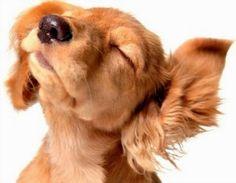 As infecções causadas por fungos são muito comuns em cães.