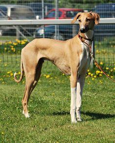azawakh rare dog breeds