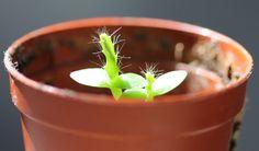 Faire pousser un pitaya à partir de graines de fruit du dragon (fruit à partir de 2 ans à conditions de le polliniser manuellement)