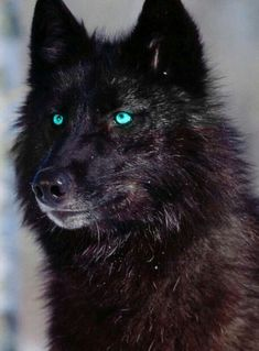 Loup Noir aux yeux bleus_Black Wolf with blue eyes Wolf Photos, Wolf Pictures, Animal Pictures, Wolf Images, Wolf Love, Wolf Spirit, My Spirit Animal, Beautiful Wolves, Animals Beautiful