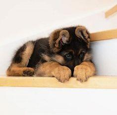 Pure puppiness! #germanshepherddogs
