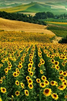 Sunflower Fields - Andalusia, Spain #HelloYellow #HelloColor