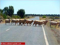 A flock of sheep crossing the highway in Australia. Visit Australia, Australia Living, Australia Travel, Scuba Diving Australia, The Road Not Taken, Farm Kids, Australian Beach, Watercolours, Where To Go