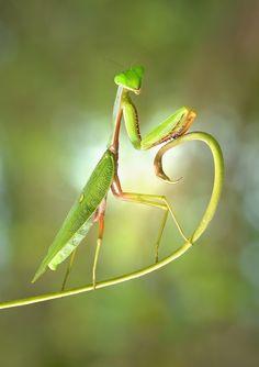 Hot Pose of Mantis by Irfan Mirandra
