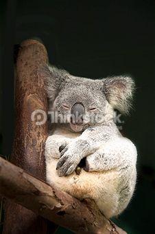 Recherchez des photos de Koala sur Thinkstock