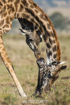 A new giraffe drops into the world - Africa Geographic Animals And Pets, Baby Animals, Funny Animals, Cute Animals, Wild Animals, Giraffe Pictures, Cute Pictures, Beautiful Creatures, Animals Beautiful