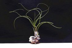 Tillandsia Butzii rolled leaf shape air plant decorations,Indoor air purification plant,absorption of formaldehyde