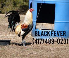 Hatch Grey #gallos #galleros #gamefowl #gamebirds #gallosfinos #sweater5k #gallosdecombate #gallosdepelea #sabongnation #sabonglife #gamefowlbreeders #partidoelpirion #gallones #criaderos #breeders #sabong #finos #byb #backyardbreeders #chicken #chickens #roosters #poultry #fowl #birds #hens #layinghens #broodyhen #hatch #chicks