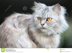 Yellow Fluffy Cat