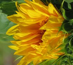 sunflower side #naturepics, #freshcityfarms, #DownsviewPark, #Toronto #Ontario, #Canada