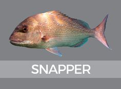 Species Identification, Fish ID NZ, Snapper Kayak Fishing, Fishing Tips, Fishing Boats, Seashell Painting, In The Zoo, Fishing Photography, T Set, Big Fish, Beach Fun