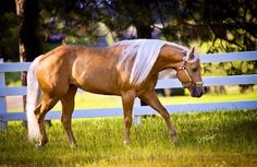 Lovely palomino  Olympic Horse Dreams: Photo                                                                                                                                                                                 More
