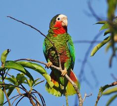 Rose-throated Parrot, Cuba...they would be in my garden when I was a young girl...I think this is why I've had a facination with birds since I was a little girl.