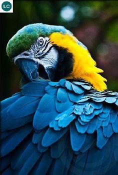 https://www.facebook.com/WonderBirdSpecies/ Blue-and-yellow macaw (Ara ararauna); South America; IUCN Red List of Threatened Species 3.1 : Least Concern (LC)(Loài ít quan tâm) || Vẹt Macaw lam vàng; Nam Mỹ; HỌ VẸT - PSITTACIDAE (True parrots).