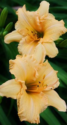 Day lilies - gorgeous!