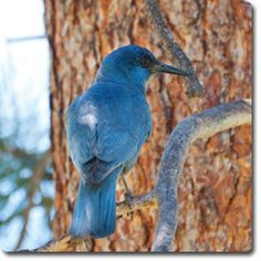 Pinyon Jay – Learn All About the #Bird o' the Day – Backyard #WildBird Directory –