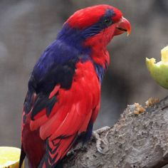 Violet-Necked Lory   Red and Blue Lory Eos histrio talautensis