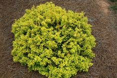 """Barberry, Daybreak (Berberis thunbergii 'Daybreak') A colorful compact barberry perfect for small space gardens. The foliage emerges an orange-red in color and eventually matures to a bright yellow-gold that will not burn or bleach in the summer heat. Forms a beautiful small rounded mound that will brighten up your landscape. Bred by Plant Introductions, Inc. 18"""" x 18-24"""""""