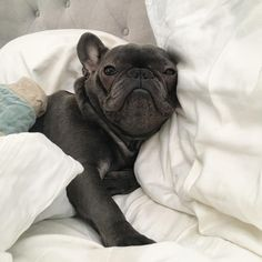 """""""Hello Monday?""""... """"you woke me up to tell me that?"""", disgruntled French Bulldog"""
