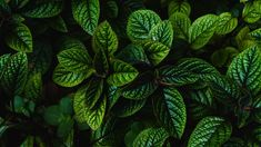 Savhera's Organic Peppermint Essential Oil contains natural anti-inflammatory properties. The Buy Peppermint Essential Oil Mojito, Green Leaves, Plant Leaves, Peppermint Plants, Peppermint Spray, Peppermint Tea, Plant Wallpaper, Healthy Herbs, Healthy Tips