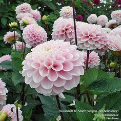Flower Gardening For Beginners Dahlia 'Wizard Of Oz' - Cut Flower Garden, Pink Garden, Flower Farm, Dream Garden, My Flower, Flower Gardening, Pink Flowers, Beautiful Flowers, Plantation