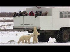 Eisbären Safari in Manitoba - das ist ein Abenteuer, das man so schnell nicht vergisst. Jedes Jahr kommen Hunderte der Tiere nach Churchill. Churchill Polar Bears, Safari, Rocky Shore, Hiking Tours, Helicopter Tour, Boat Tours, Winter Activities, Walking Tour, Traveling By Yourself