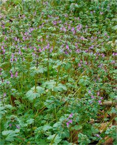 Weeds in lawn Henbit #henbit #lawnweeds
