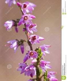 Common Heather Flowers Close-up Royalty Free Stock Photography ...