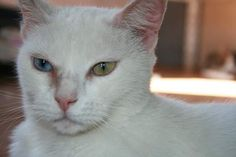 AMAPOLA - Gato adoptado - AsoKa el Grande