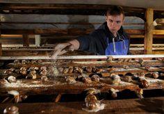 Hodowla i przetwórstwo ślimaków, w tym kawioru! - Różnica pomiędzy ślimakiem winniczkiem a ślimakiem hodowlanym.
