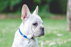 Igor 2 meses 1/2 - bulldog frances - frenchi