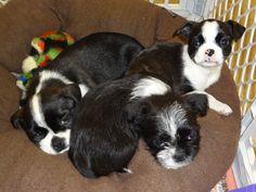 Boston Terrier Shih Tzu Mix Puppy My Style Shih Tzu Shih Tzu Mix Boston Terrier