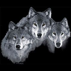 It's like these wolves are staring right into your soul!