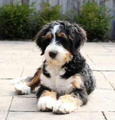 Bernedoodles are my dream breed! They're a big, friendly mix of poodle and Bernese Mountain Dog