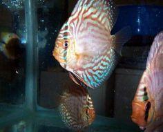 Secrets of Breeding Discus Fish