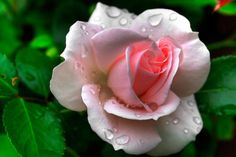 Pink rose by ~ilpavone2004  :)