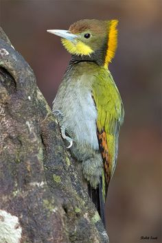Greater Yellownape