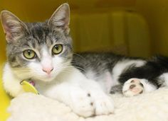 ADOPTED>Intake: 6/1 Available: Now  NAME: Cindy  ANIMAL ID: 27706356 BREED: DSH  SEX: Spayed Female  EST. AGE: 8 months  Est Weight: 5.5 lbs  Health: Combo negative  Temperament: Friendly  ADDITIONAL INFO: O/S  RESCUE PULL FEE: $39