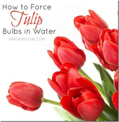 How to Force Tulip Bulbs in Water - Sand & Sisal DIY >>>> Learn how to force tulip bulbs in water. You could easily have tulips all year round with these simple instructions! Garden Bulbs, Planting Bulbs, Garden Plants, Indoor Plants, Planting Flowers, Sisal, Growing Orchids, Growing Plants, Container Gardening