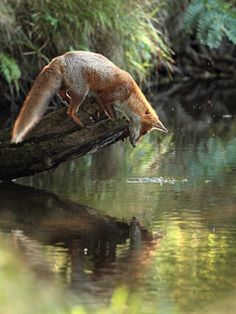 Morning fox enchanted by his reflection in the water...